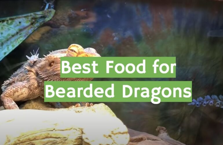 5 Best Food for Bearded Dragons