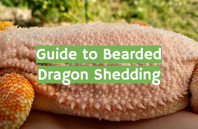 Guide to Bearded Dragon Shedding