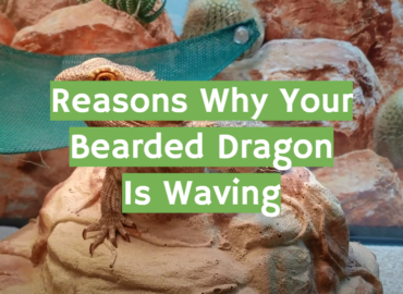 Reasons Why Your Bearded Dragon Is Waving