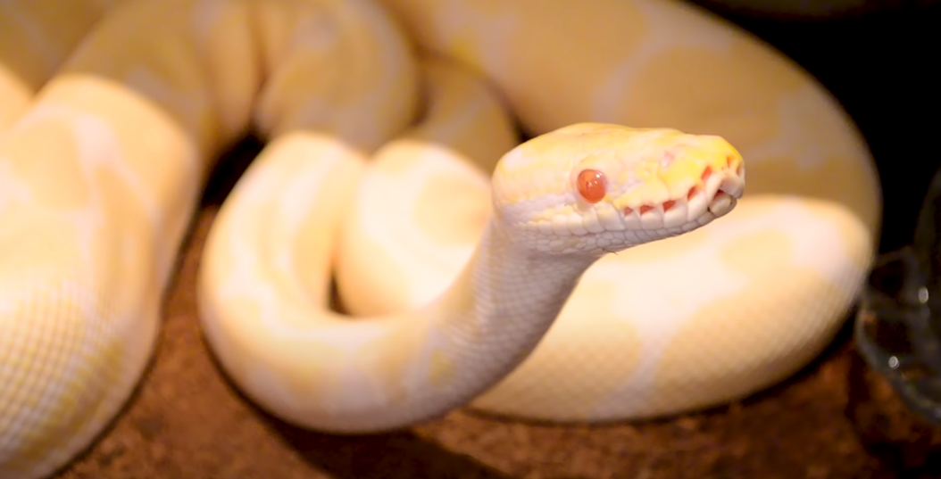 How Long Can a Ball Python Go Without Eating in Captivity